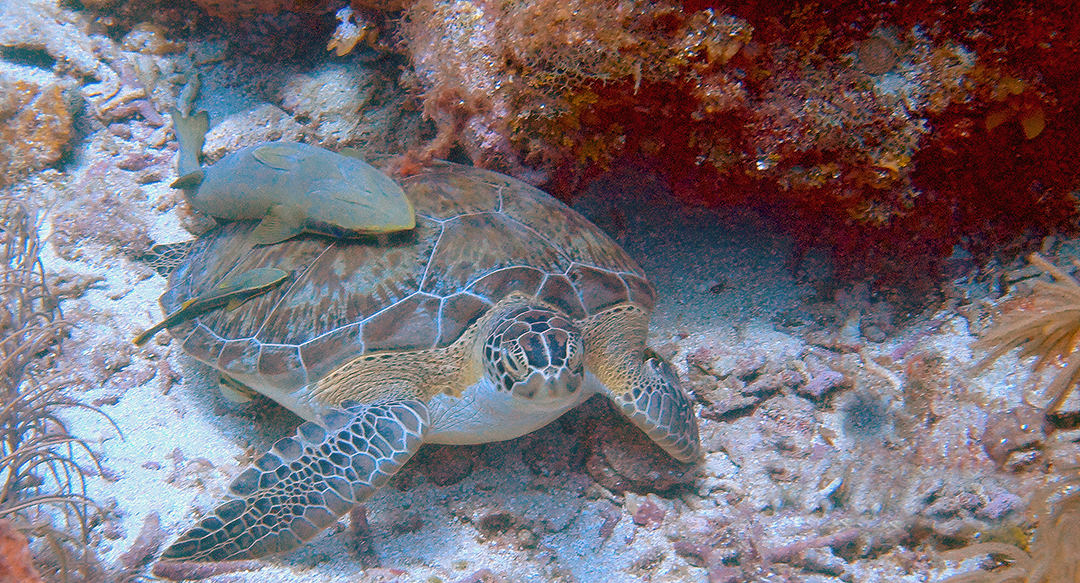 Finding sea turtles: a green sea turtle's view