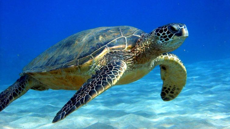 loma linda university researchers expand sea turtle research