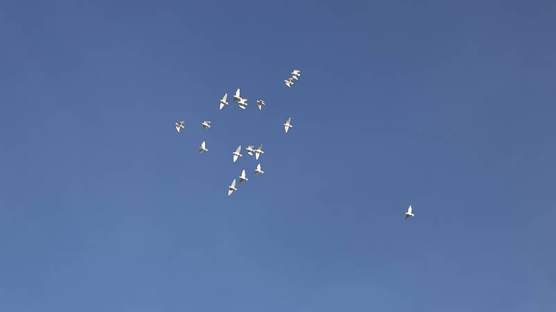 The doves were highlighted against the blue sky even as they flew farther and farther away.